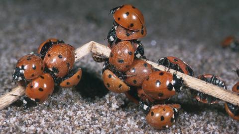 Mehrere Siebenpunkt-Marienkäfer an einem Ast