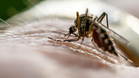 Eine Mücke auf der Haut