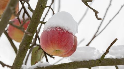 Apfel der Sorte Ontario