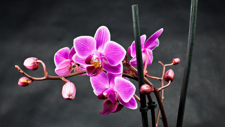 Rosa Orchidee