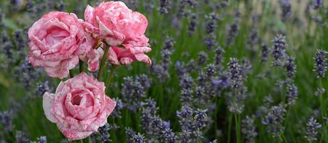 Rose mit Lavendel