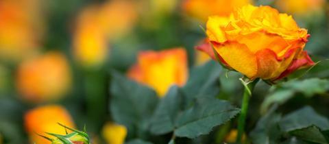 Rose mit orangen Blüten