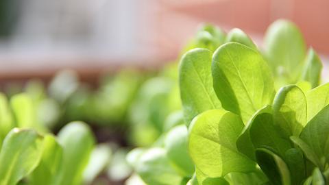Salat wächst im Garten