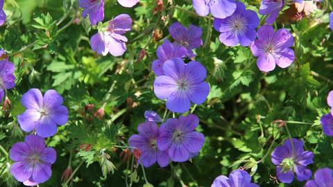 Blühende Staudenpflanze