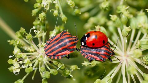 Streifenwanzen und ein Marienkäfer