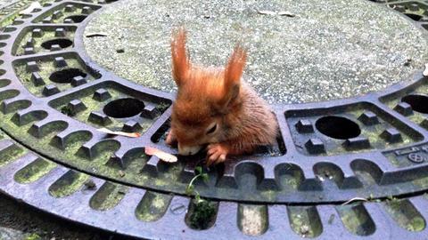 Feuerwehr rettet ein Tier - Eichhörnchen in einem Kanaldeckel