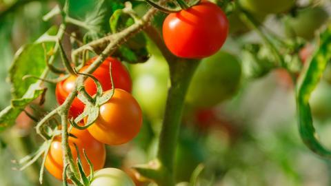 audio tomatenpflanzen sch tzen rat tat. Black Bedroom Furniture Sets. Home Design Ideas