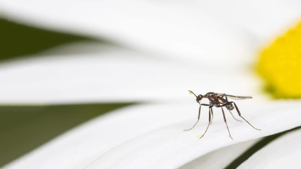Trauermücke auf einer Blüte