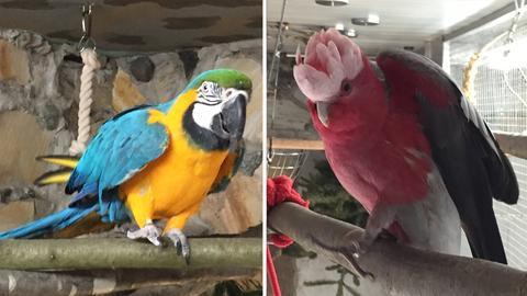 Papageien Pinki und Manni