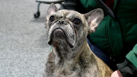 Französische Bulldogge Lilly aus dem Tierheim in Felsberg-Beuern