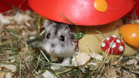Hamsterdame Eure Majestät