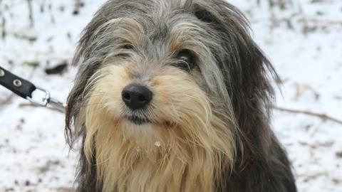 Mischlingshund Papi