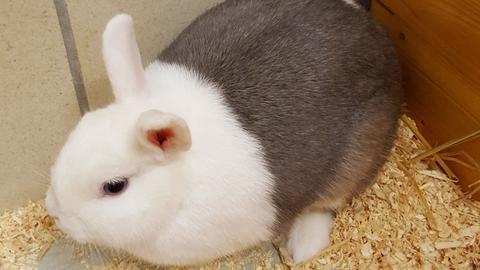 Kaninchendame Trixi aus dem Tierheim in Korbach