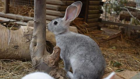 Kaninchen aus der Wetterau