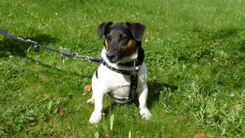 Das ist der Jack-Russel-Terrier Milo