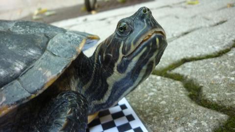 Chocolina ist eine Hieroglyphenschildkröte