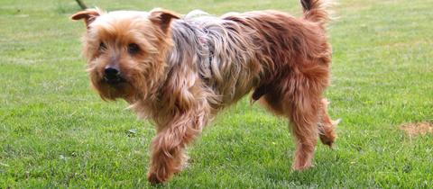 Yorkshire-Terrier Buddy