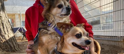 Die beiden Chihuahuas Alfred (links) und Chico.