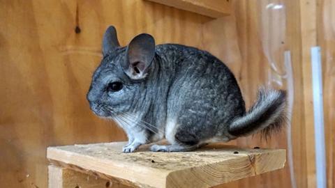 Chinchilla-Männchen Balou