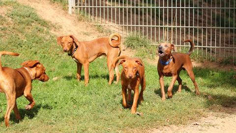 Die vier Pinscher-Mischlinge aus dem Tierheim in Felsberg-Beuern