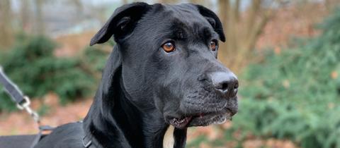 Labrador-Mix Hannes