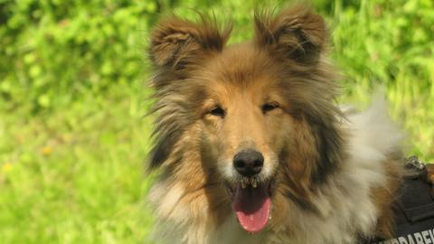 Collie-Dame Lucy