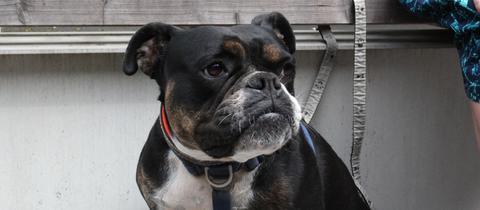 Old English Bulldog-Hündin Lykke aus dem Tierheim in Felsberg-Beuern