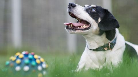 Jack Russel Terrier Odie aus dem Tierheim Wiesbaden