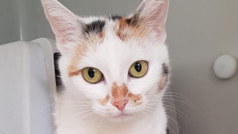 Katze Shiba aus Reichelsheim