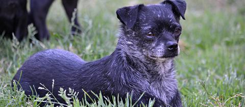 Chihuahua Tom
