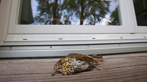 Ein Vogel liegt tot vor einem Fenster