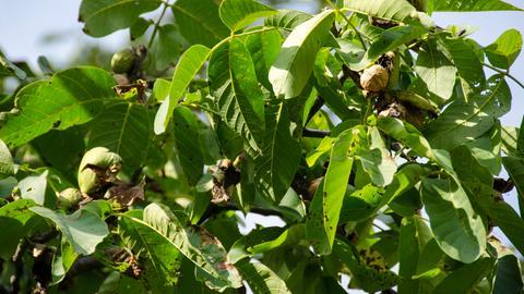 Walnussbaum mit Früchten