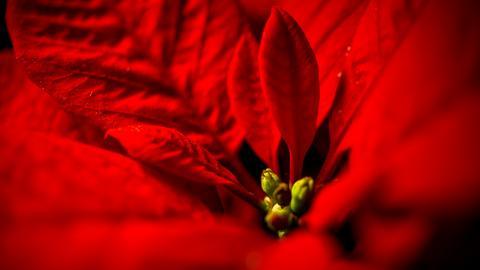 Intensives Rot des Weihnachtssterns