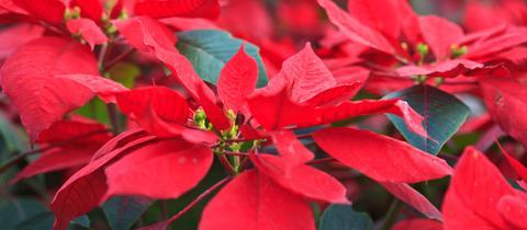 Blütenpracht der Weihnachtssterne