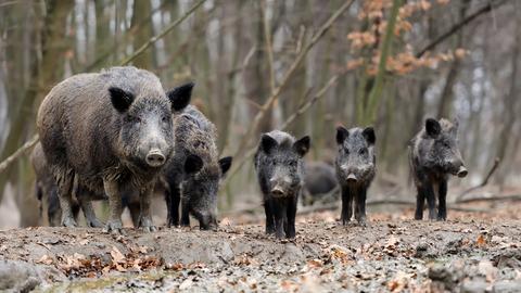 Wildschweine - Bache mit größeren Frischlingen