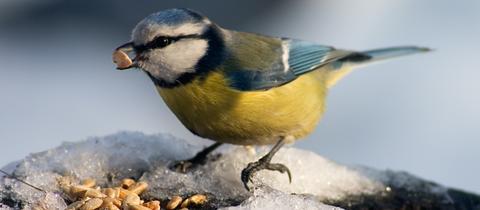 Ein Vogel bei der Winterfütterung