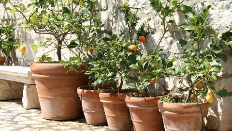 Verschiedene Zitrusbäumchen in Blumentöpfen