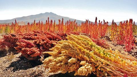 Qunioa in den Anden