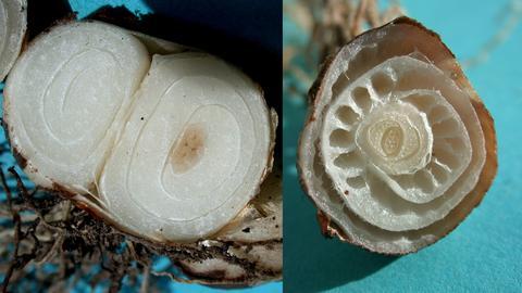 Blick in die aufgeschnittene Zwiebel des kleinen Schneeglöckchens: links die Zwiebel im Sommer, voll mit Nährstoffen und rechts im Frühjahr. Die Nährstoffe wurden beim Austrieb verbraucht.