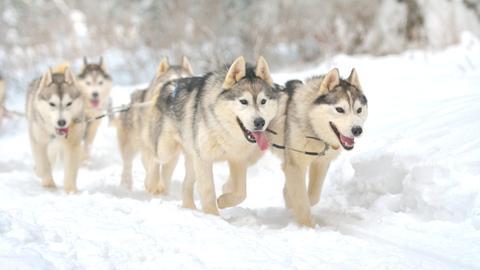 Huskys im Schnee