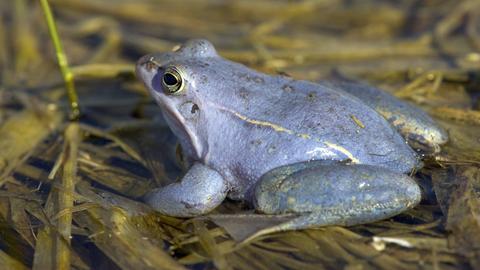 Männlicher Moorfrosch in blauer Färbung