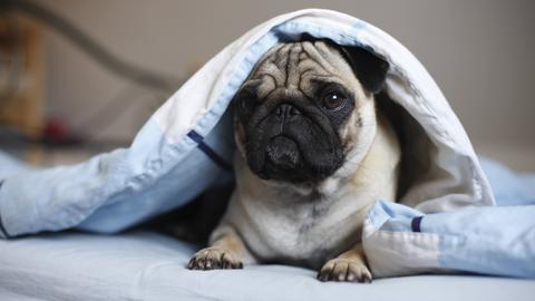 Neugierig guckt ein Mops unter einer Decke hervor