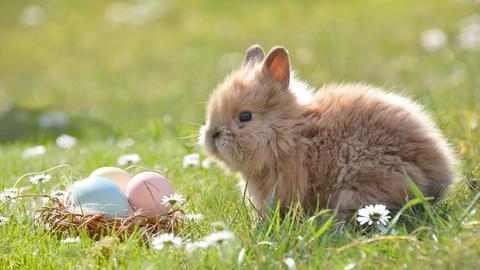 Kleiner Hase sitzt for eine Nest mit drei bunten Eiern