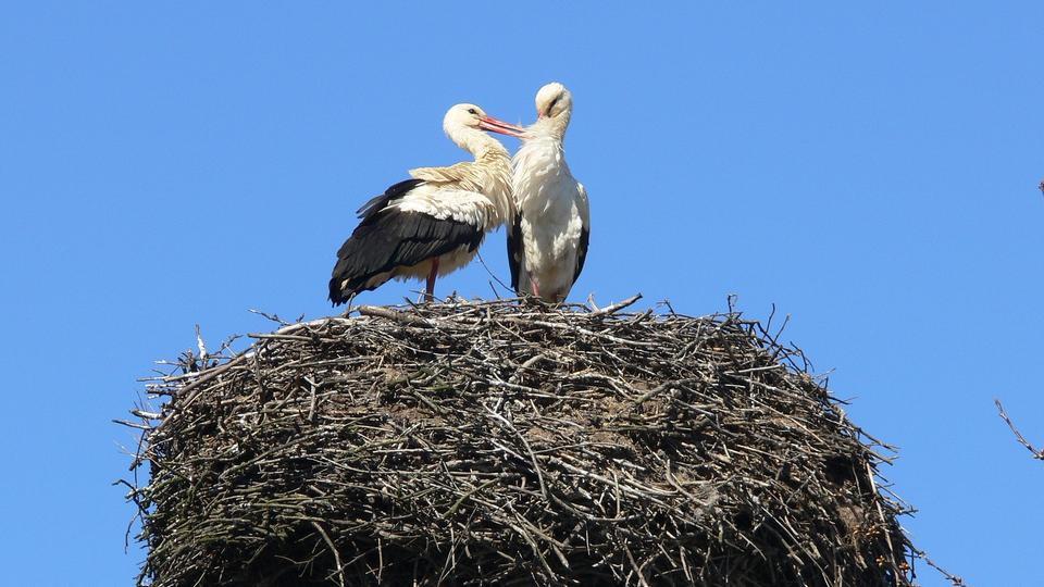 Zwei Störche auf dem Nest